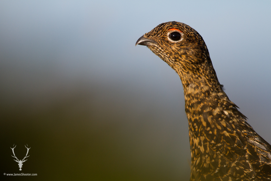 A female red grouse, distinguishable by the less prominent eye wattle and browner rather than red plumage. © James Shooter 2013