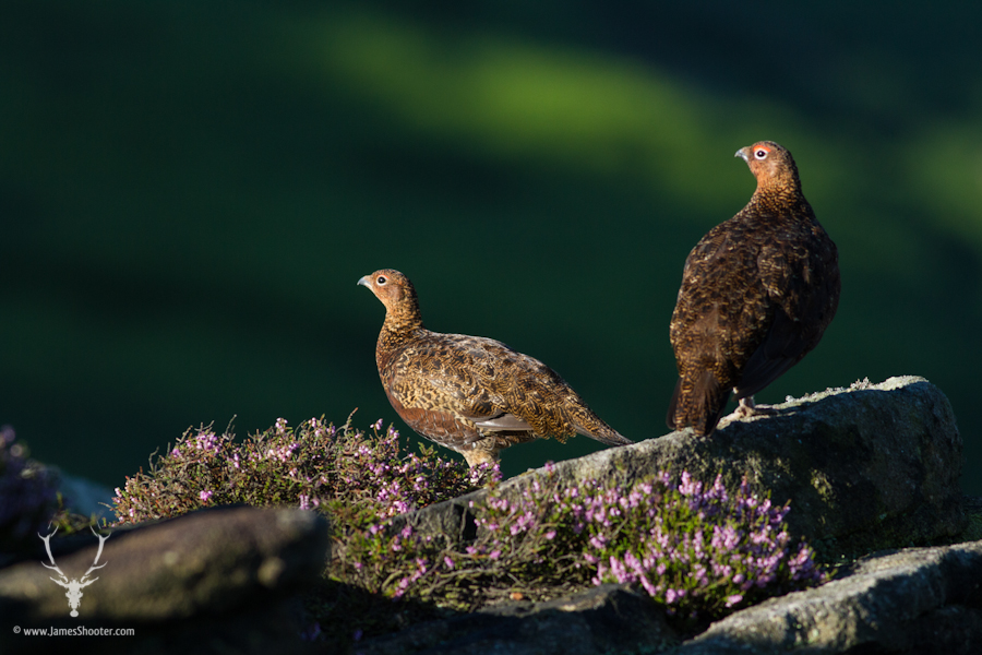 A male and female red grouse sit together surrounded by purple heather © James Shooter 2013