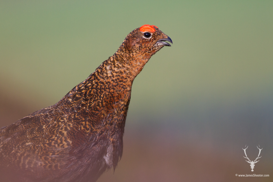 A calling male red grouse in amongst heather. © James Shooter 2013