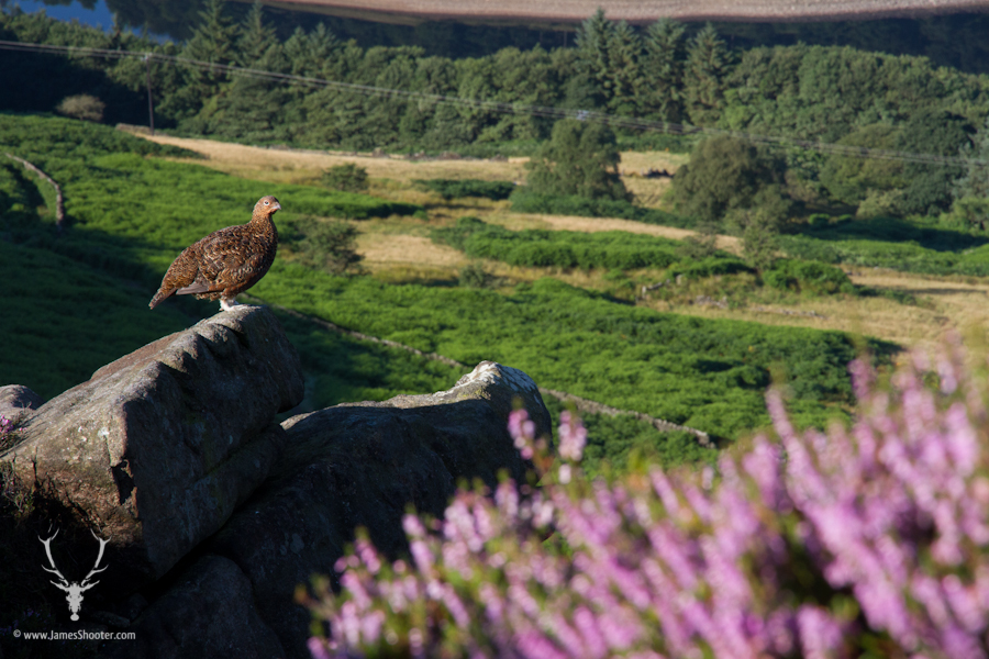 Another wide-angle image putting the grouse within it's environment and telling a story of its behaviour and habitat. © James Shooter 2013