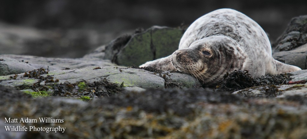 Grey Seal on the Farne Islands  © Matt Williams, 2013