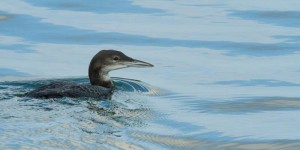 Great Northern Diver, shown here in winter plumage © Joshua Burch Photography 2013