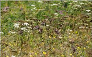 Corncrake meadow