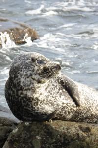 Common Seal - right outside Tesco