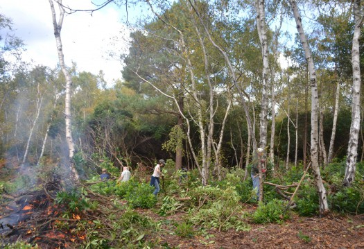 Volunteers removing rhododendron from a nature reserve in Dorset