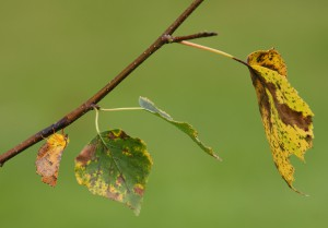 Canary - Shouldered Thorn